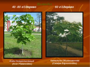 Выводы Клён Остролистный (Acer Platanoides) 40 -80 г/1дерево 60 г\1дерево Кат
