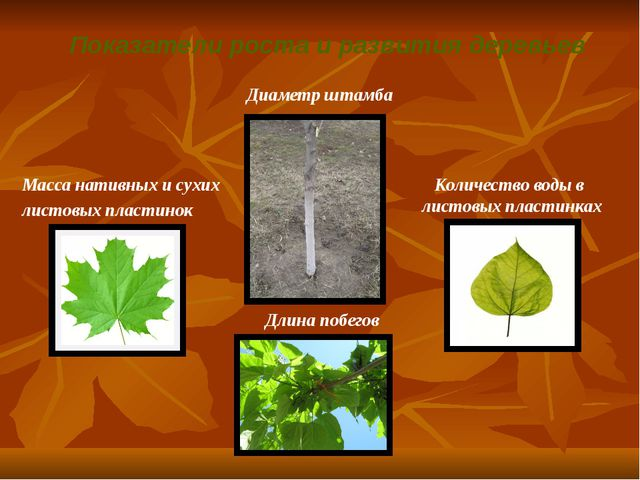 Показатели роста и развития деревьев Масса нативных и сухих листовых пластино...