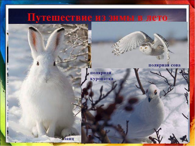 Путешествие из зимы в лето Север. Тундра. россомаха белый медведь песец заяц...