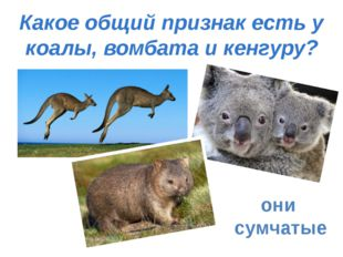 Какое общий признак есть у коалы, вомбата и кенгуру? они сумчатые