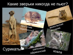 Какие зверьки никогда не пьют? коала Сурикаты монгольская песчанка прыгунчик