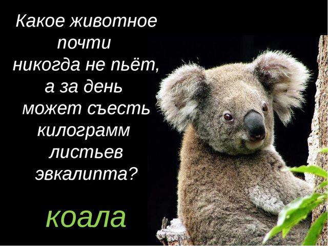 коала Какое животное почти никогда не пьёт, а за день может съесть килограмм...