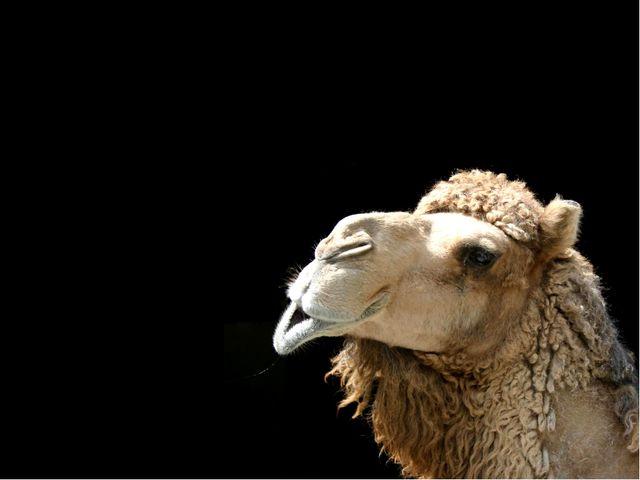верблюд Какое животное может преобразовывать свой жир в воду, если долго не...