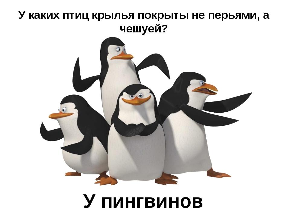 У каких птиц крылья покрыты не перьями, а чешуей? У пингвинов