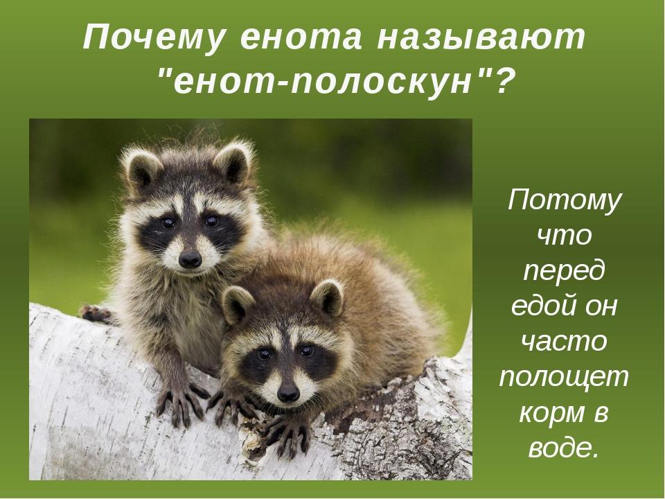 """Почему енота называют """"енот-полоскун""""? Потому что перед едой он часто полоще..."""