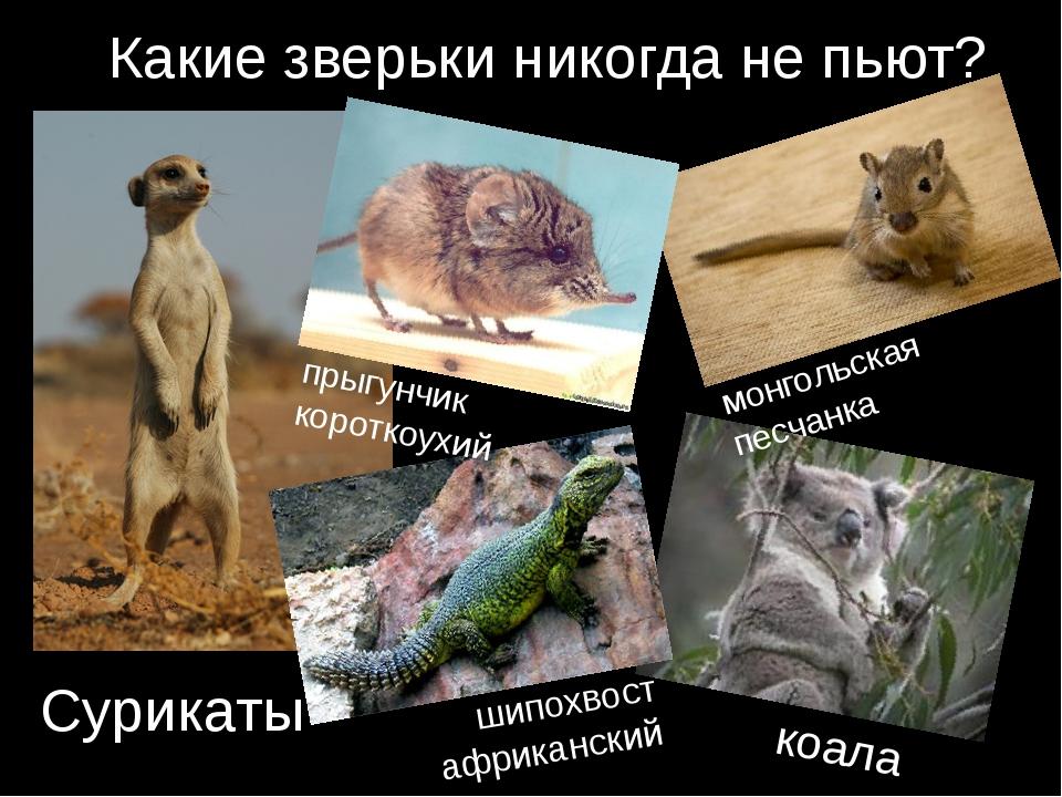 Какие зверьки никогда не пьют? коала Сурикаты монгольская песчанка прыгунчик...