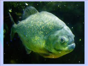 Пиранья - длина рыбы 20 см, у некоторых особей до 30 см. Масса редко превышае
