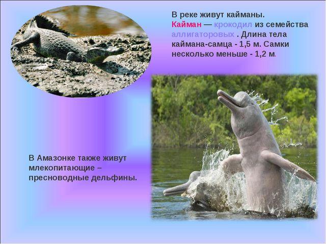 В реке живут кайманы. Кайман — крокодил из семейства аллигаторовых . Длина те...