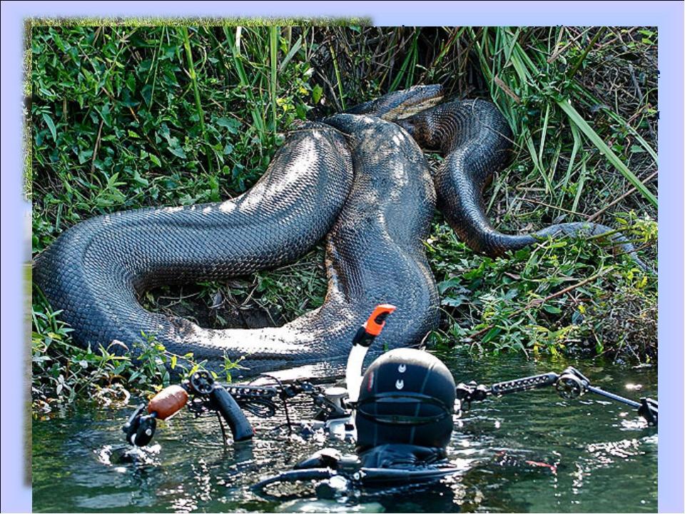 Анаконда — крупнейшая по массе из современных змей. Её масса достигает 97.5 к...