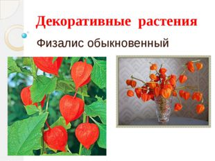 Декоративные растения Физалис обыкновенный
