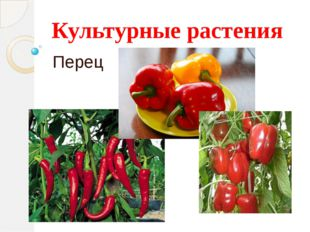 Культурные растения Перец