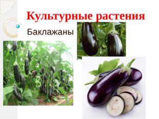 Культурные растения Баклажаны