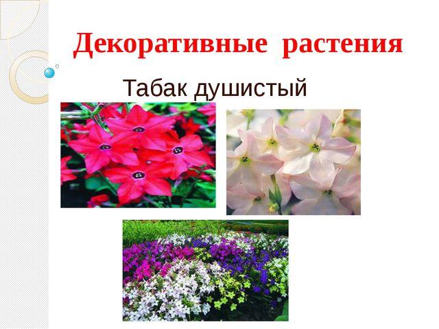 Декоративные растения Табак душистый