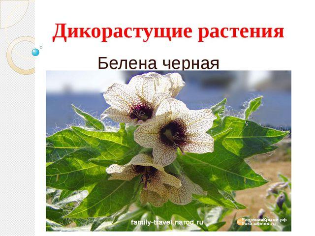 Дикорастущие растения Белена черная