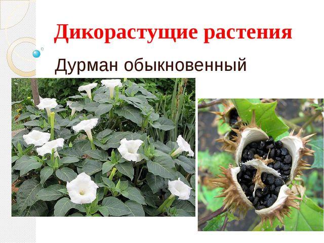 Дикорастущие растения Дурман обыкновенный