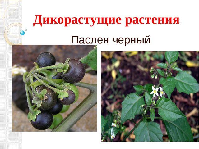 Дикорастущие растения Паслен черный