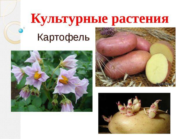 Культурные растения Картофель