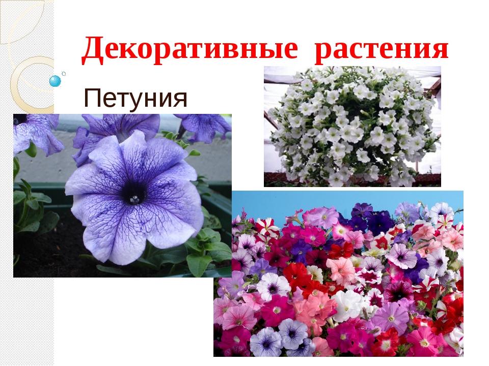 Декоративные растения Петуния