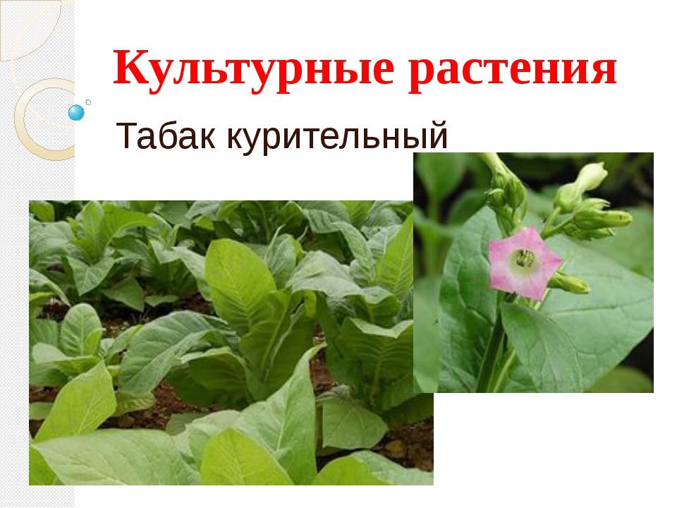 Культурные растения Табак курительный