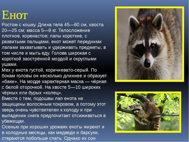 Енот Ростом с кошку. Длина тела 45—60см, хвоста 20—25см; масса 5—9кг. Тело...