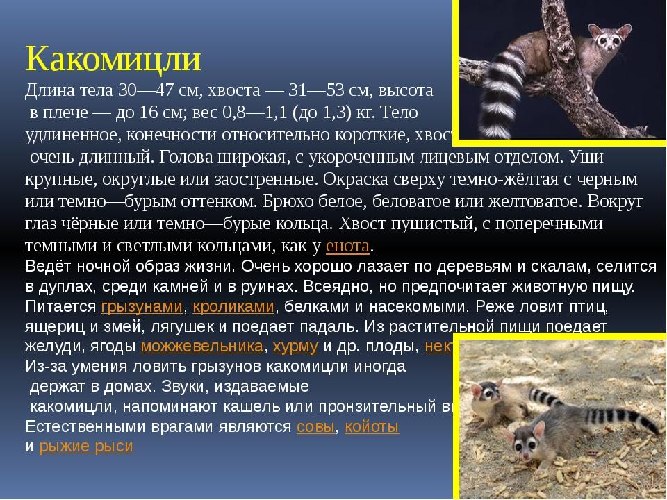 Какомицли Длина тела 30—47см, хвоста— 31—53см, высота в плече— до 16см;...