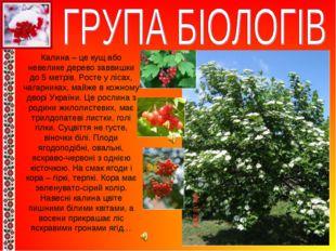 Калина – це кущ або невелике дерево заввишки до 5 метрів. Росте у лісах, чага