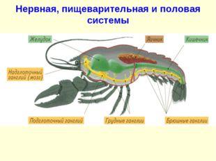Нервная, пищеварительная и половая системы