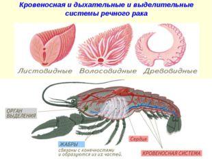 Кровеносная и дыхательные и выделительные системы речного рака