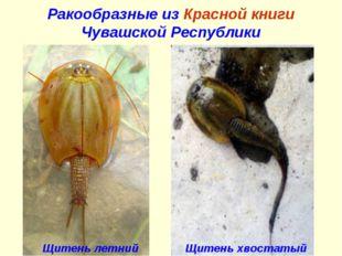 Ракообразные из Красной книги Чувашской Республики Щитень хвостатый Щитень ле