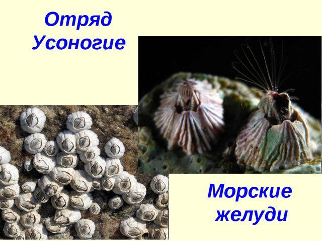 Отряд Усоногие Морские желуди