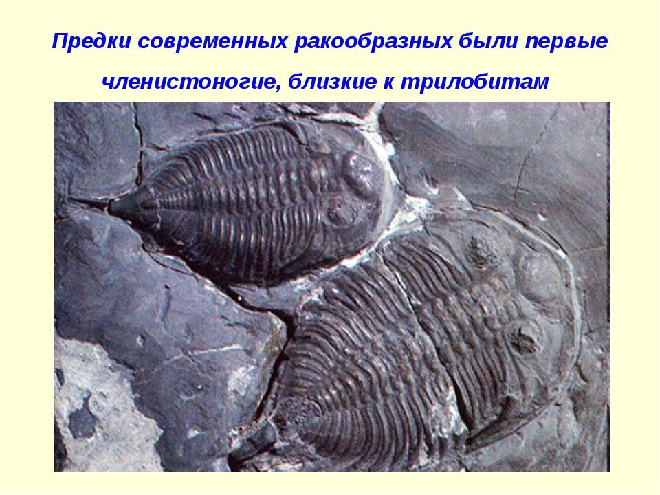 Предки современных ракообразных были первые членистоногие, близкие к трилобитам