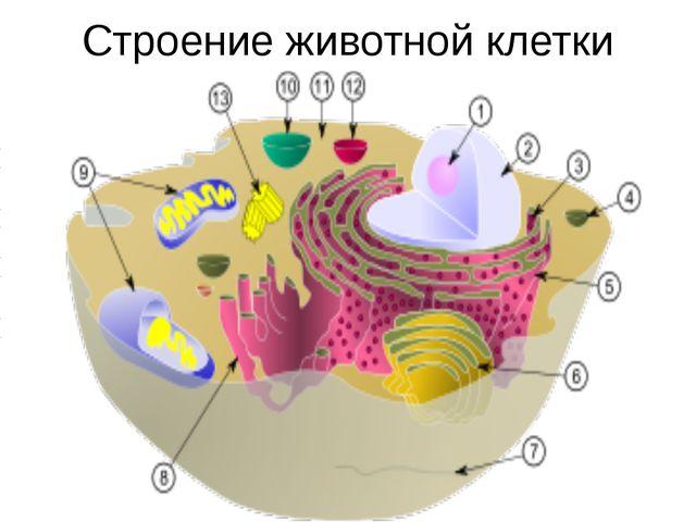 Строение животной клетки Ядро Ядрышко Гранулярная ЭПС Аппарат Гольджи Плазмат...