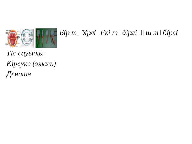 Бір түбірлі Екі түбірлі Үш түбірлі  Тіс сауыты Кіреуке (эмаль) Д...