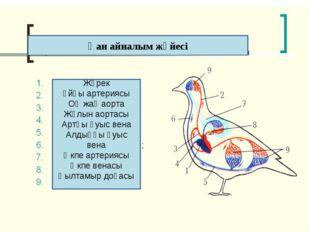 Қан айналым жүйесі Жүрек Ұйқы артериясы Оң жақ аорта Жұлын аортасы Артқы қуыс