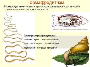 Гермафродитизм Примеры гермафродитизма: плоские черви – белая планария; Ленто