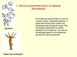 Почкованием размножаются многие низшие грибы, например дрожжи, и даже многокл
