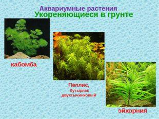 Аквариумные растения Укореняющиеся в грунте кабомба эйхорния Пеплис, бутырлак