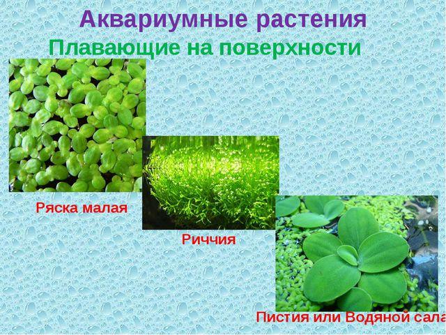 Аквариумные растения Плавающие на поверхности воды Ряска малая Риччия Пистия...