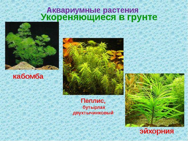 Аквариумные растения Укореняющиеся в грунте кабомба эйхорния Пеплис, бутырлак...