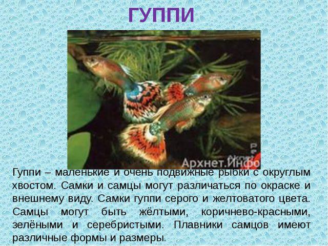 ГУППИ Гуппи – маленькие и очень подвижные рыбки с округлым хвостом. Самки и с...