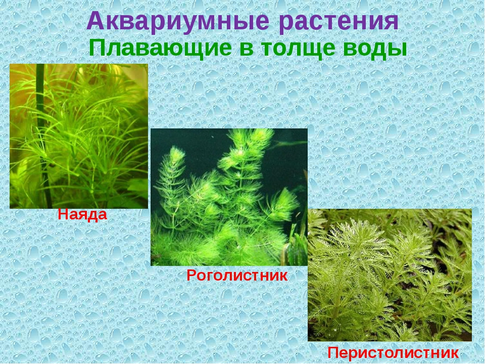 Аквариумные растения Плавающие в толще воды Наяда Роголистник Перистолистник