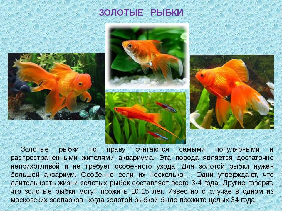 ЗОЛОТЫЕ РЫБКИ Золотые рыбки по праву считаются самыми популярными и распростр...