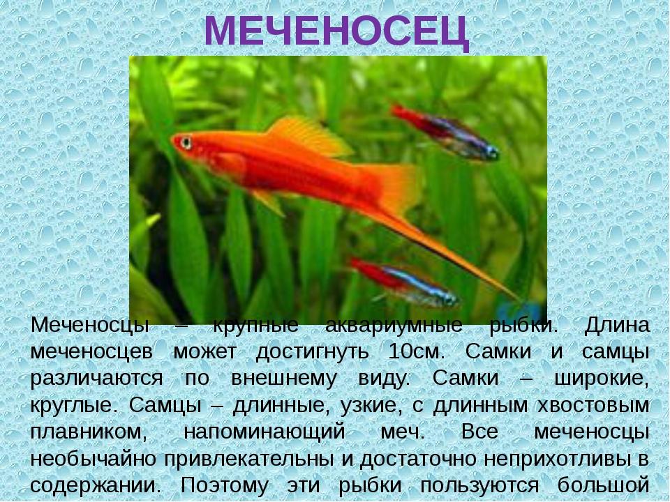 МЕЧЕНОСЕЦ Меченосцы – крупные аквариумные рыбки. Длина меченосцев может дости...