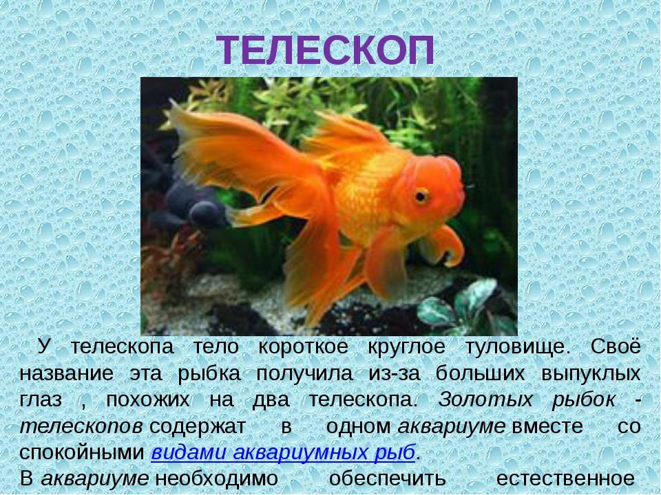 ТЕЛЕСКОП У телескопа тело короткое круглое туловище. Своё название эта рыбка...