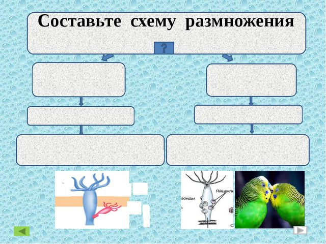 Размножение ПОЛОВОЕ БЕСПОЛОЕ Составьте схему размножения