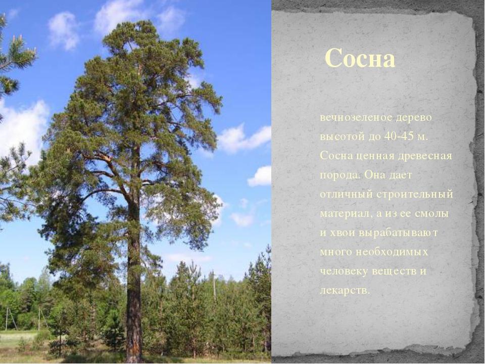 Сосна вечнозеленое дерево высотой до 40-45 м. Сосна ценная древесная порода....