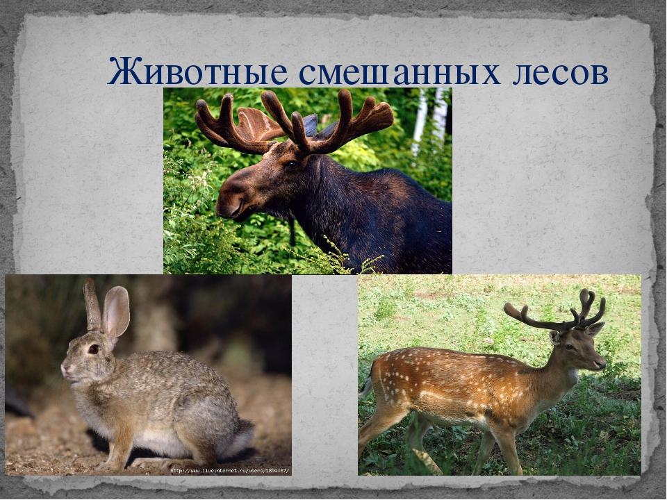 Животные смешанных лесов