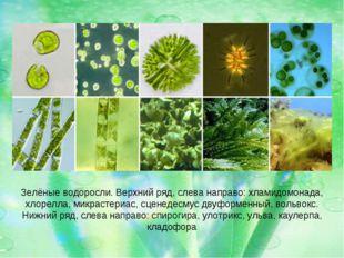 Зелёные водоросли. Верхний ряд, слева направо: хламидомонада, хлорелла, микра