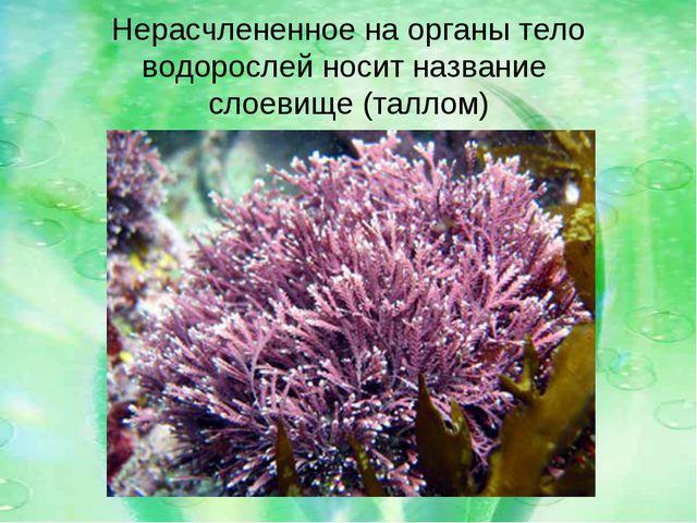 Нерасчлененное на органы тело водорослей носит название слоевище (таллом)