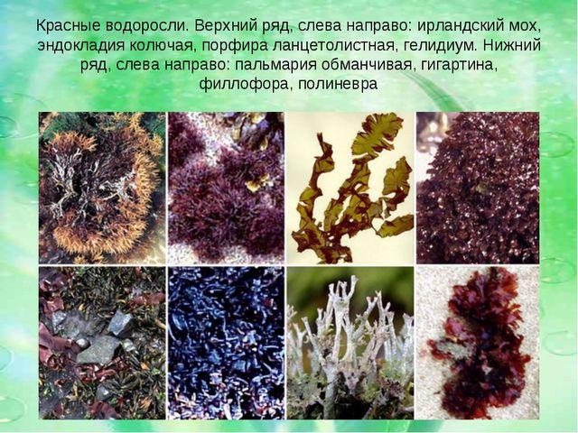 Красные водоросли. Верхний ряд, слева направо: ирландский мох, эндокладия кол...